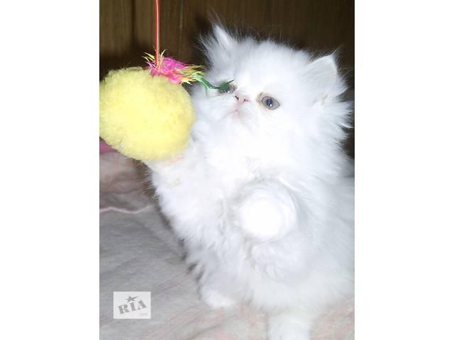 персидская маленькая белая девочка Снежана полтора месяца- объявление о продаже  в Запорожье