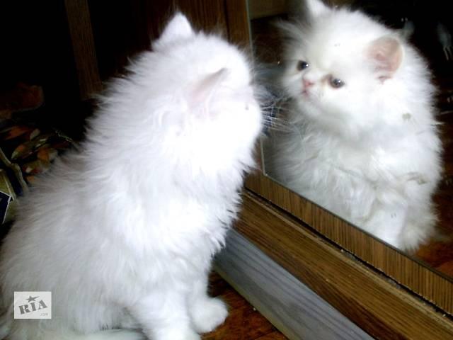 купить бу персидские классические белые котята в Запорожье