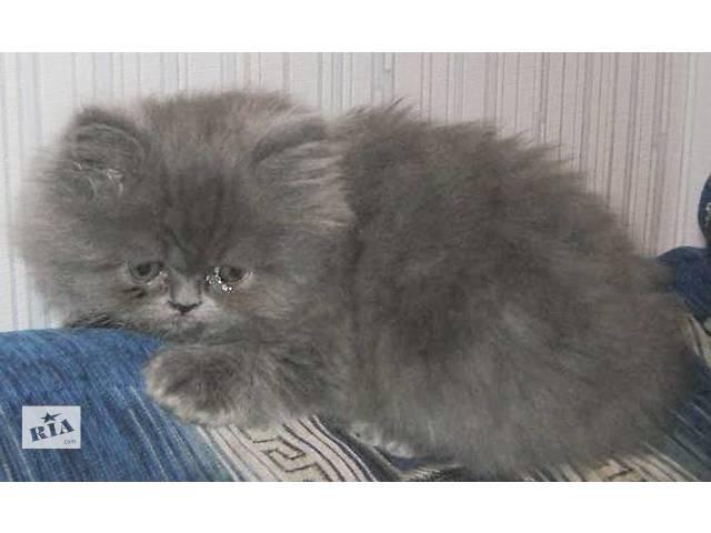 купить бу персидские классические котята в Запорожье