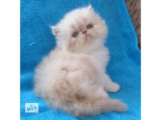 Персидские котята- объявление о продаже  в Киеве