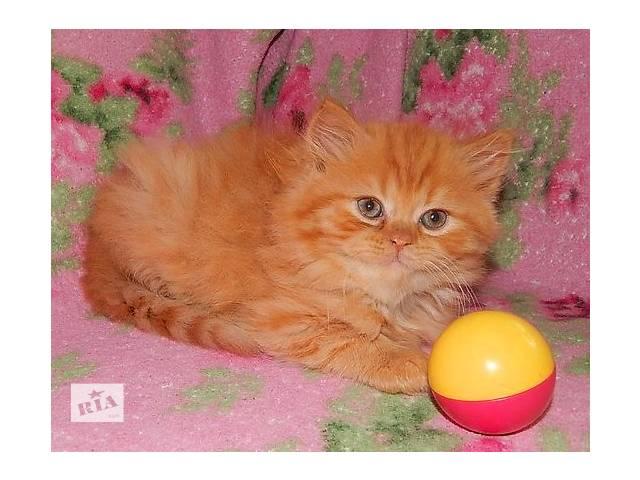 персидские котята- объявление о продаже  в Запорожье