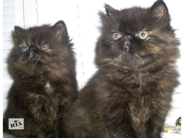 персидские породистые котята с необычным окрасом- объявление о продаже  в Запорожье