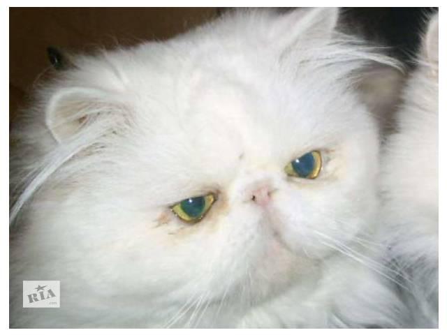 продам персидский экстремальный белый кот приглашает на вязку бу в Запорожье