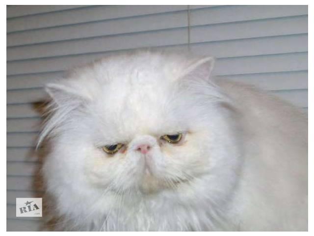 бу персидский экстремальный белый кот приглашает в Запорожье