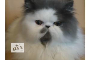 Персидский котенок как домашний любимец.