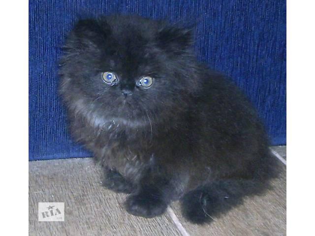персидский котенок необыкновенной пушистости- объявление о продаже  в Запорожье