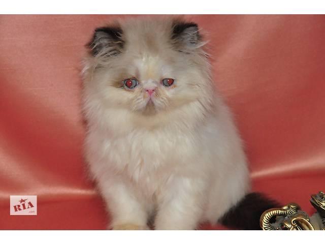 купить бу персидский котенок в Николаеве