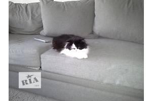 Персидский кот девочка