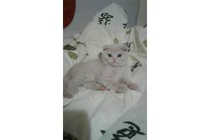 Британський кіт
