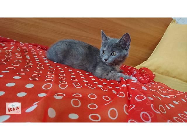продам Плюшевые британские котята бу в Киеве