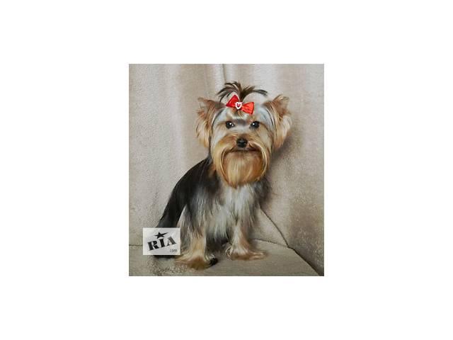купить бу  Подрощенный щенок миниатюрного йорка, мальчик Кентуки. в Киеве