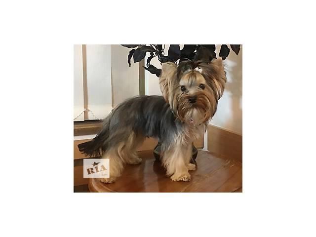 купить бу Подрощенный щенок миниатюрного йорка, мальчик Купидон. в Киеве