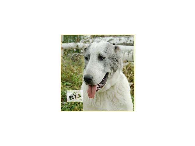продам подрощенный щенок среднеазиатской овчарки (алабай)- девочка бу в Киеве