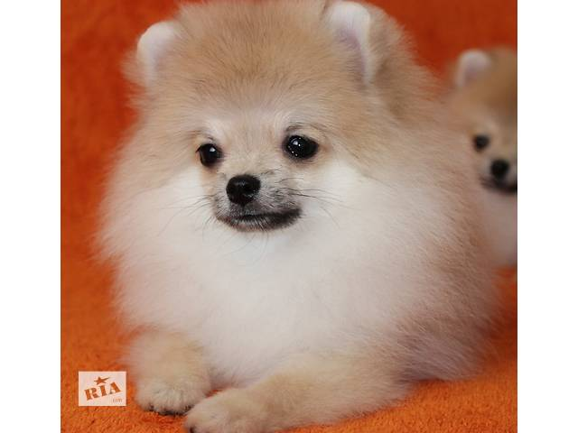 продам Pomeranian For sale . бу в Киеве