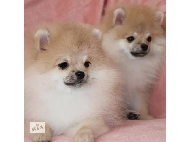 Pomeranian- объявление о продаже  в Киеве