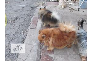 Собаки, цуценята - объявление о продаже