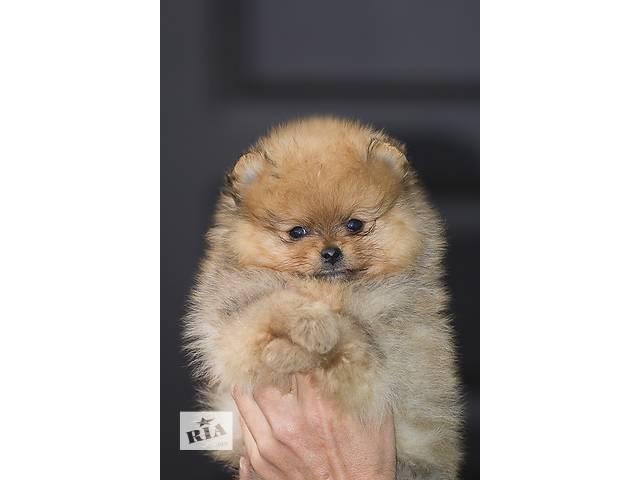 Померанский шпиц - мальчик мишка!!!- объявление о продаже  в Николаеве