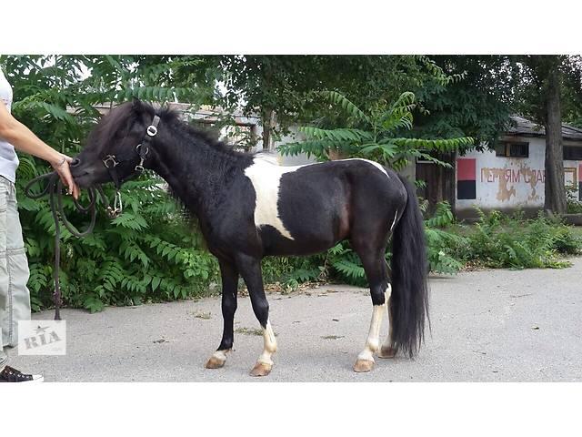 Пони жеребец очень красивый- объявление о продаже  в Одессе