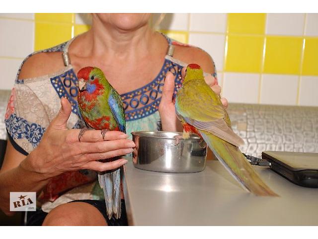 Попугай  розелла пенантовая и розелла бледнолицая выкормленные вручную птенцы - объявление о продаже  в Киеве