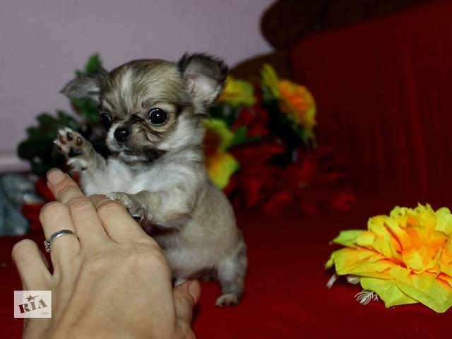 купить бу Породные малыши чихуахуа в Днепре (Днепропетровск)