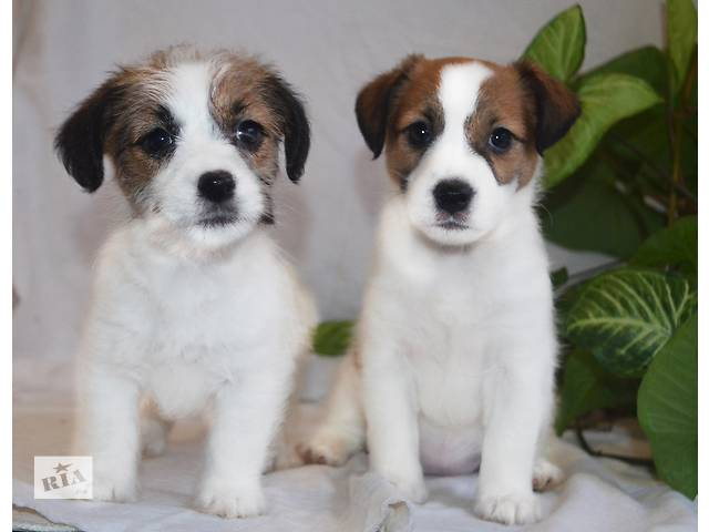 продам Породные щенки Джек рассела бу в Никополе
