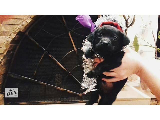 купить бу Породистые щенки лабрадора  в Киеве