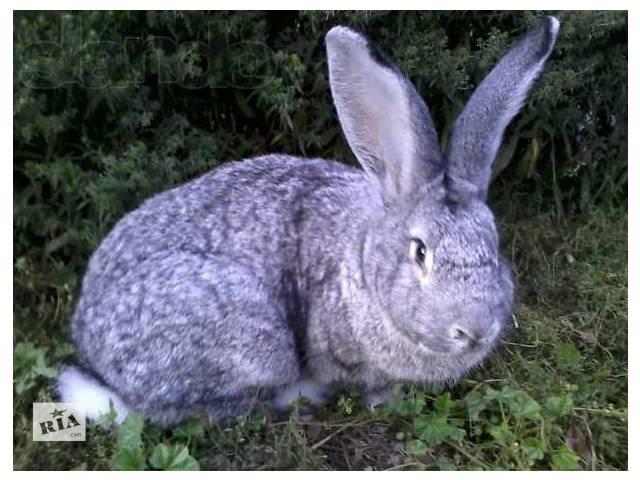 купить бу породистые кролики продажа в Калиновке