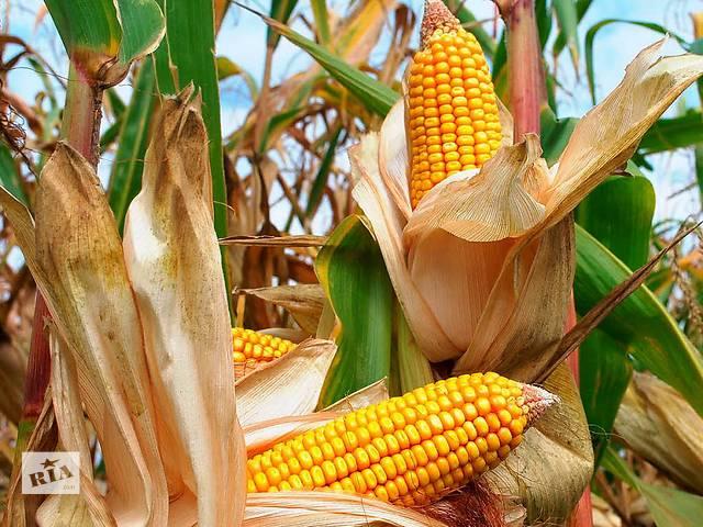 Посівний матеріал кукурудзи «Амарок»(FAO220)- объявление о продаже  в Киеве