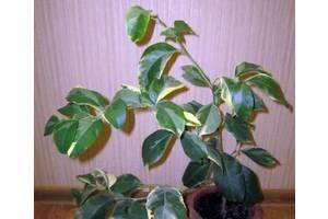 Цитрусові рослини