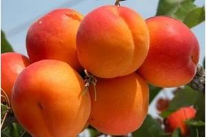 Саджанці абрикоса