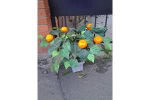 Апельсиновые деревья