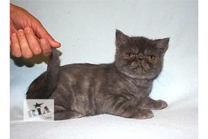 Предлагаем котенка экзота экстремального типа.  Окрас: голубой дым.