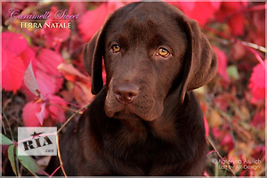 Предлагаем к продаже щенков лабрадора шоколадного окраса