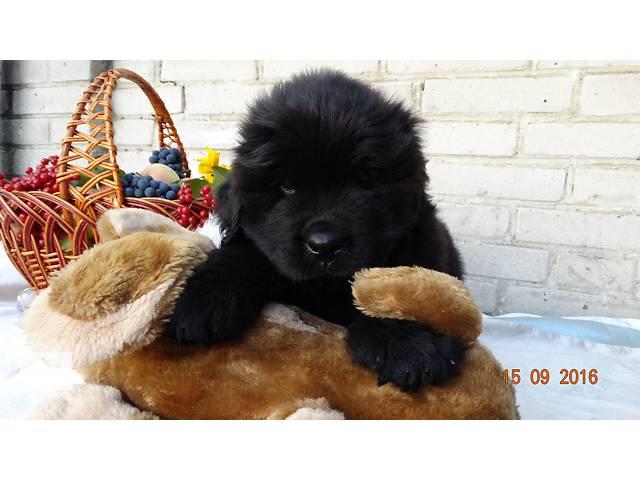 бу продаются щенки  ньюфаундленда в Ровно