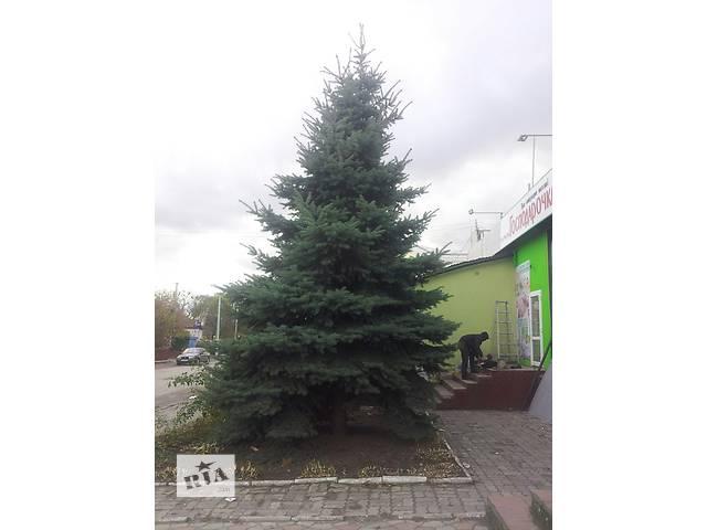 Предлагаю две красивые голубые елки- объявление о продаже  в Демидовке (Ровенской обл.)
