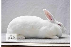 Предлагаю племенное поголовье кроликов акселератов Термонськой породы