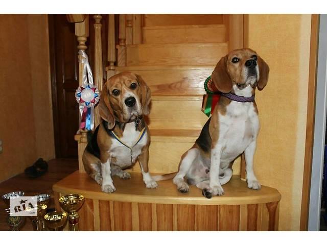 Предлагаются щенки бигля от интересной пары- объявление о продаже  в Киеве