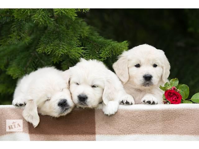 купить бу Прекрасные щенки золотистого ретривера в Киеве