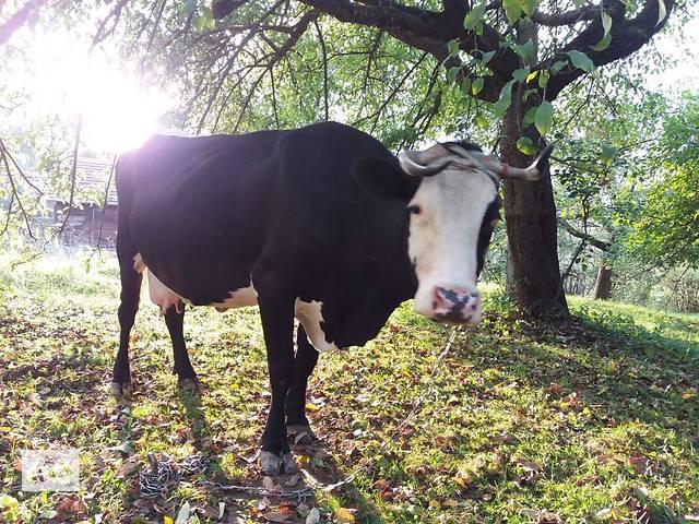 продам продается корова бу в Коломые