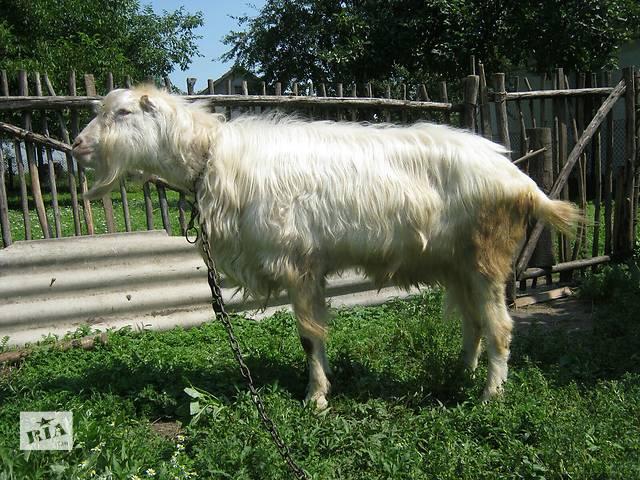 бу Продается козел козел в Мостиске