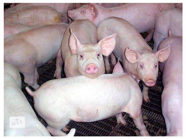 купить бу Продаем свиней мясо-беконной породы.Убедитесь в качестве! в Киеве