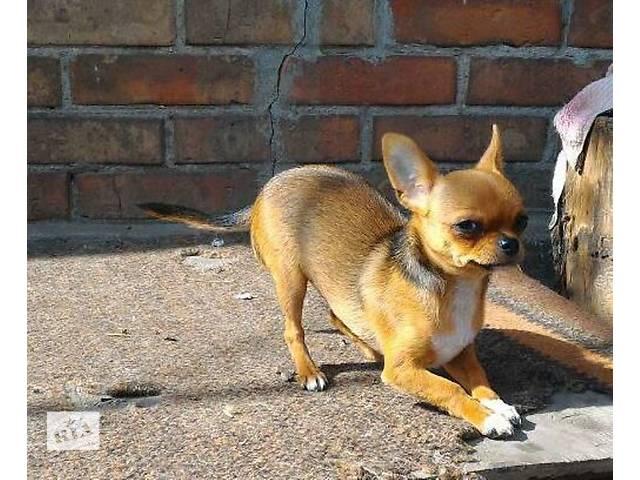 купить бу Продаётся чудесная чихуахуа в Львове