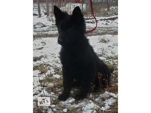 Продаётся элитный щенок длинношерстный (девочка) черной немецкой овчарки!- объявление о продаже  в Каневе