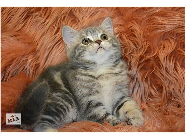 купить бу Продается клубный шотландский котенок в Киеве