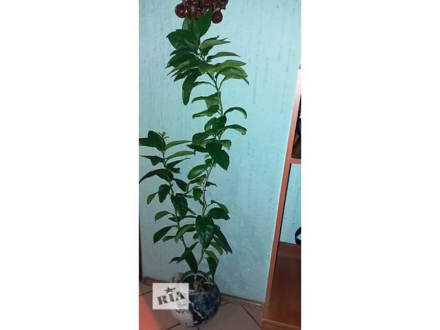 Срочно продается комнатное апельсиновое дерево.- объявление о продаже  в Червонограде