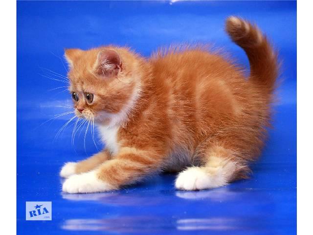 бу Продается котенок-экзот девочка от выставочных родителей в Киеве