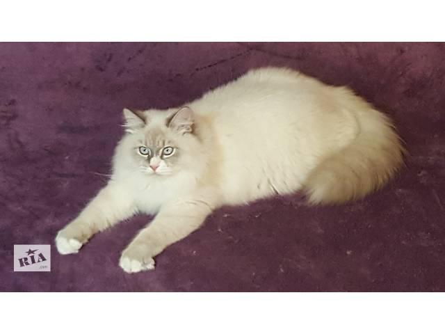 Продается котенок шоу-класса (мальчик) породы Невская маскарадная.- объявление о продаже  в Киеве