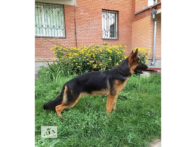 бу Продается красивый подрощеный щенок Немецкой Овчарки. в Полтаве