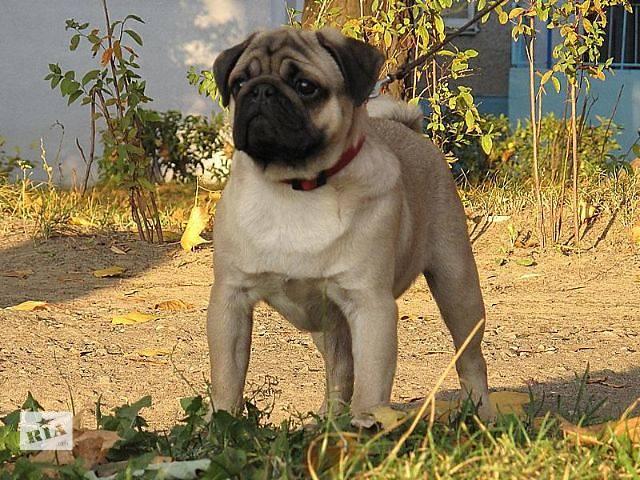 фото щенков мопса 5 месяцев