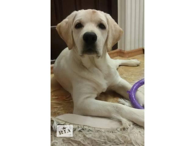 Продаётся красивый мальчик лабрадора!- объявление о продаже  в Донецке